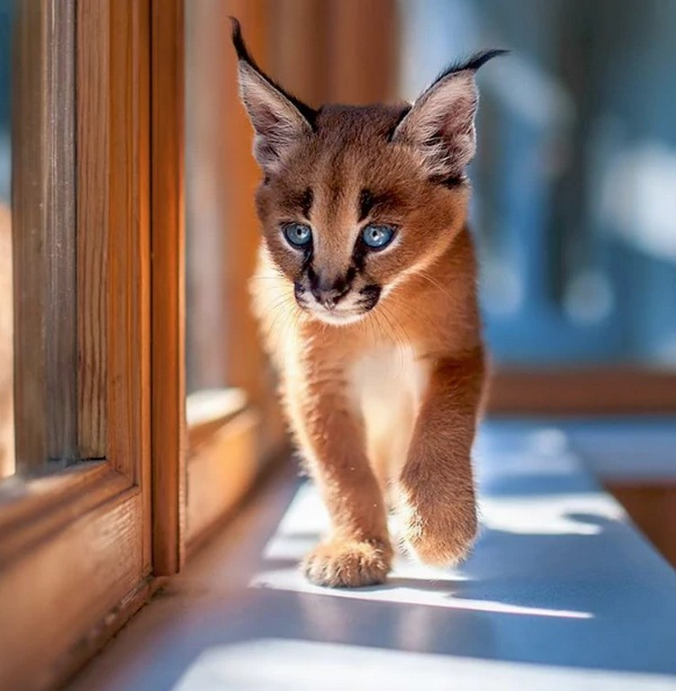 Cutest Species 1 The Cutest Species Of Cat Discovered in South Africa