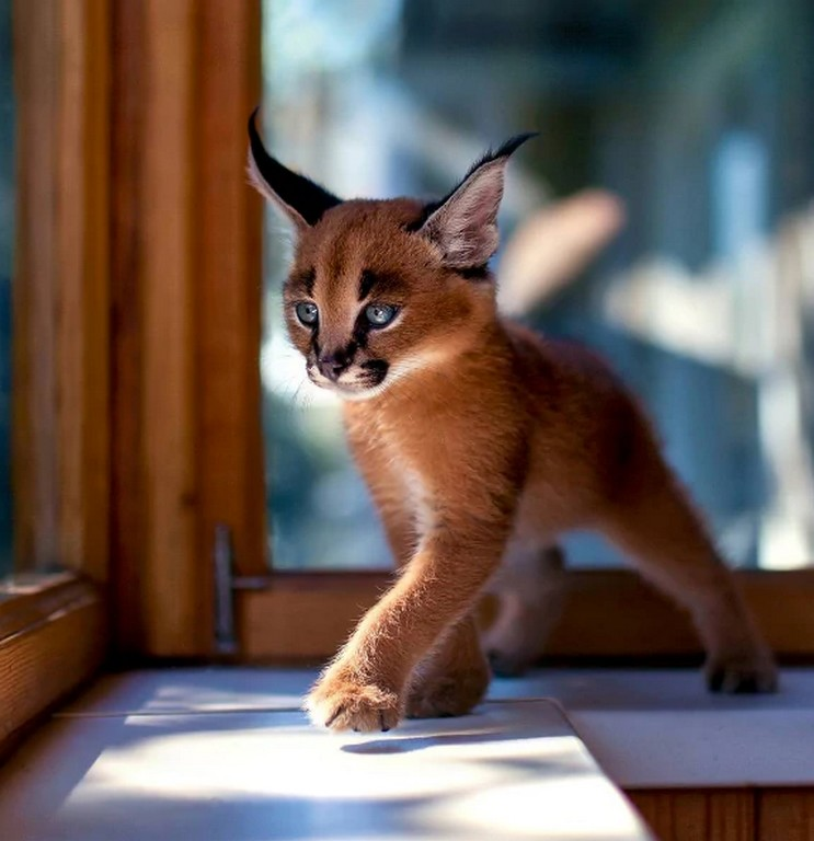 Cutest Species 2 The Cutest Species Of Cat Discovered in South Africa
