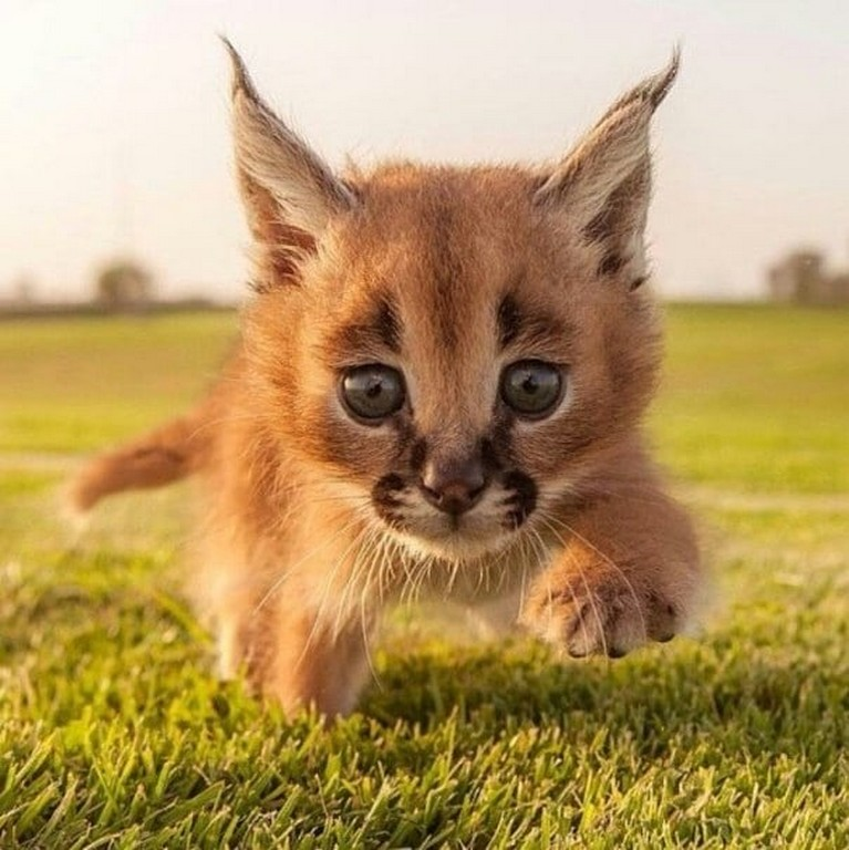 Cutest Species 4 The Cutest Species Of Cat Discovered in South Africa